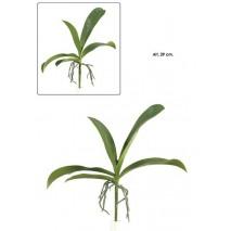 Hoja orquidea phalenopsis 5 hojas+raiz x 29 cm