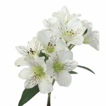 Alstroemeria 8 flores blanca 65cm