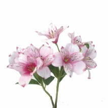 Alstroemeria 8 flores rosa 65cm