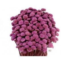 Botao preservado 100g 45cm lila