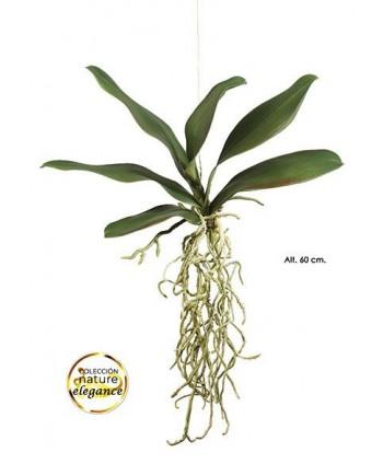 Hoja orquídea phalaenopsis 6 h ver raíz x 60cm